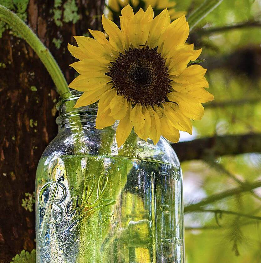 sunflower ball jar