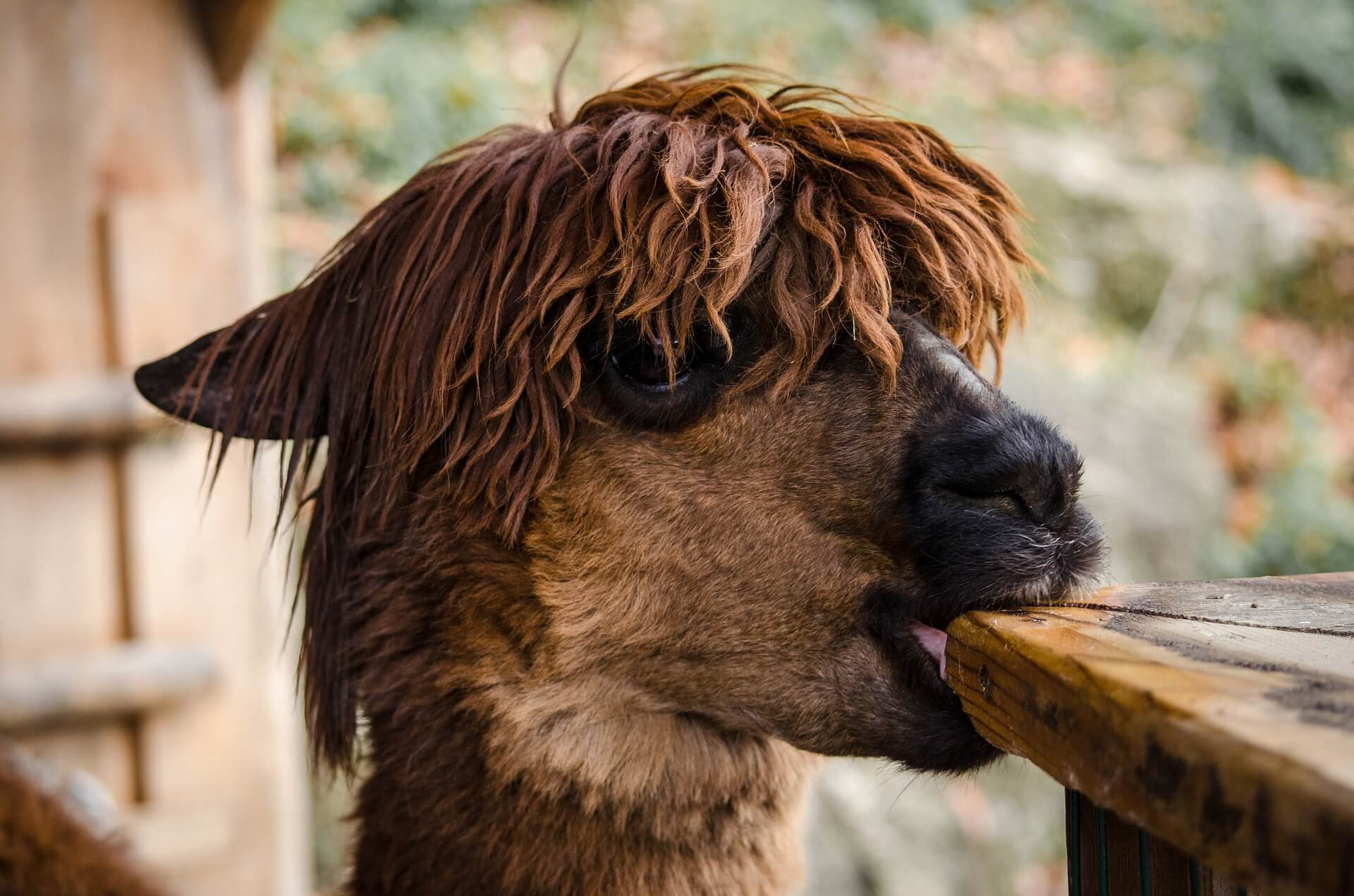 This is Dolly Lama